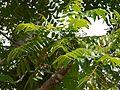 Ailanthus triphysa (5597834880).jpg