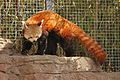 Ailurus fulgens at the Denver Zoo-2012 03 12 0726.jpg