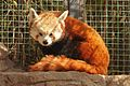 Ailurus fulgens at the Denver Zoo-2012 03 12 0729.jpg