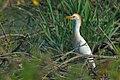 Airone Guardabuoi (Bubulcus ibis) DSC5722 01.jpg