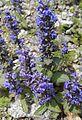 Ajuga genevensis L. (Lamiaceae)-1F.jpg