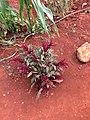 Alamar Organic Farm amaranth.jpg