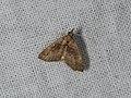 Alapadna pauropis (42676585391).jpg