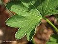 Alchemilla monticola leaf (03).jpg