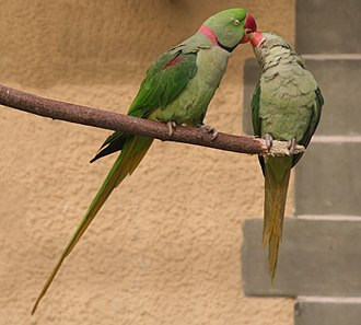 Alexandrine parakeet - Male (left) and female (right)