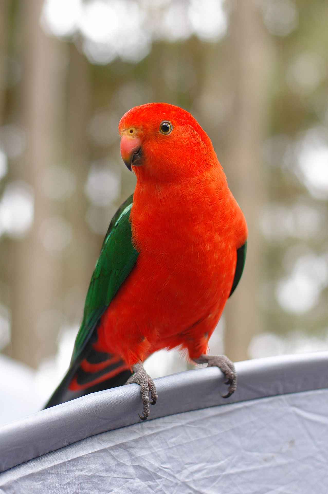 Alisterus Scapularis o Papagayo Australiano 1276px-Alisterus_scapularis_-NSW_-Australia-6