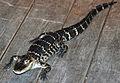 Alligator mississippiensis (American alligator) 1 (15729152912).jpg