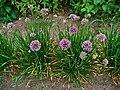 Allium lusitanicum 001.JPG