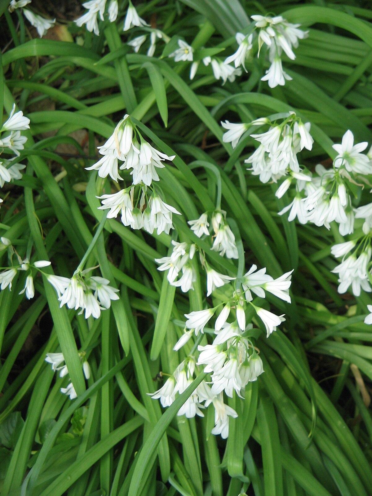 Allium Triquetrum Wikipedia