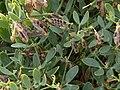 Alm10ZygophyllumFabagoFrüchte1.jpg