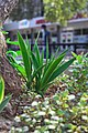 Aloe Vera plant in main mall, Gaborone.jpg