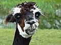 Alpaca (5723682302).jpg