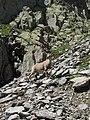 Alpine Ibex (Bouquetin) @ Path from L'Index to Col de la Gliere @ Hike to Lacs des Chéserys, Lac Blanc, Lac Cornu & Lacs Noirs @ Chamonix (15174744539).jpg