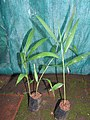 Alpinia caerulea-1-bsi-yercaud-salem-India.jpg