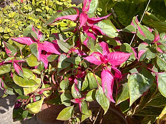 Alternanthera - Alternanthera 'Party Time'