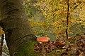 Amanita muscaria (29444929114).jpg
