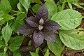 Amaranthaceae 8211.jpg