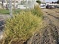 Amaranthus albus sl27.jpg