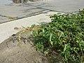 Amaranthus viridis sl50.jpg