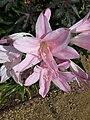 "Amarcrinum memoria-corsii ""Howardii"" (Amaryllidaceae) (flower).JPG"