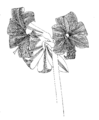 Amaryllis belladonna ellywa.png
