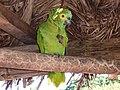 Amazona aestiva -Puerto Suarez, Bolivia-8b.jpg