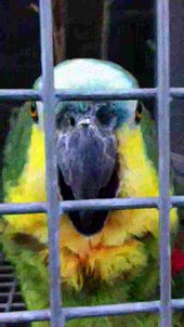 Archivo:Amazona aestiva -The Parrot Zoo, Friskney, Lincolnshire, England -laughing-8a.ogv
