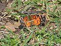 American Lady butterfly - FOS (13654741725).jpg