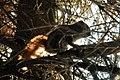 American Red Squirrel (Tamiasciurus hudsonicus) - Thunder Bay, Ontario 01.jpg