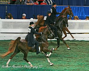 Saddle seat - Saddlebreds in 5-gaited saddle seat performance competition