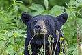 American black bear (Ursus americanus) - Jasper National Park 05.jpg