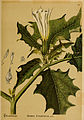 American medicinal plants (Plate 127) (6025983730).jpg