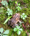 American toad (bufo americanus) 1 DurhamNC 2013-05.png