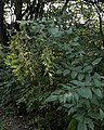 Amur Honeysuckle (Lonicera maackii) - Kitchener, Ontario 01.jpg