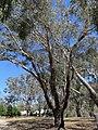 Amyema miquelii on Eucalyptus melliodora (37787985426).jpg