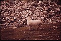 An Adolescent Ram Struts Proudly, Showing Off before the Young Females at the West Salt Lick (In Atigun Gorge) 08-1973 (3971997152).jpg