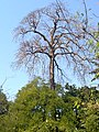 An Old tree - Phool Pada-Manvel Pada foot walk - panoramio.jpg