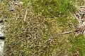 Anastrophyllum minutum (a, 142634-474025) 4361.JPG