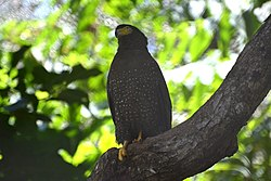 Andaman Serpent Eagle from South Andaman DSC 7733.jpg
