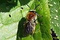 Andrena sp. (RL) (17147829949).jpg
