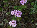 Androsace sempervivoides (2562159206).jpg