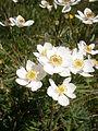 Anemone narcissiflora02.jpg