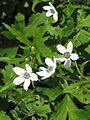 Anemone rivularis - Flickr - peganum.jpg