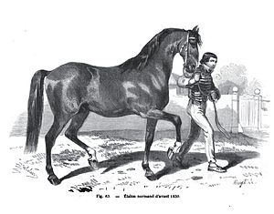 Anglo-Norman horse - Norman stallion before 1830