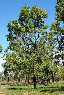 <i>Angophora floribunda</i> species of plant