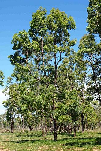 Angophora floribunda - Image: Angophora floribunda 2