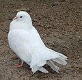 Animal Farm Dove CC.jpg