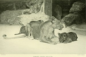 Barbary lion - Lioness and cubs, New York Zoo, 1903.
