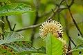 Ant Plant (Myrmeconauclea strigosa) (22698529103).jpg