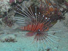 Antennen-feuerfisch.jpg